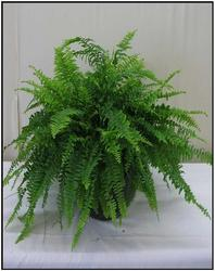 Boston Fern from Visser's Florist and Greenhouses in Anaheim, CA