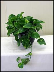 Golden Pothos from Visser's Florist and Greenhouses in Anaheim, CA