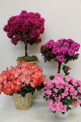 Azalea Plants from Visser's Florist and Greenhouses in Anaheim, CA