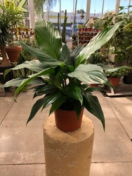 Spathiphyllum Peace Lily from Visser's Florist and Greenhouses in Anaheim, CA