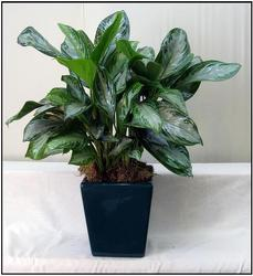 Chinese Evergreen from Visser's Florist and Greenhouses in Anaheim, CA