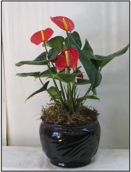 Anthurium from Visser's Florist and Greenhouses in Anaheim, CA
