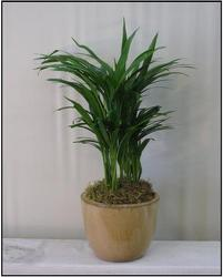 Areca from Visser's Florist and Greenhouses in Anaheim, CA