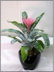 Bromeliad Fasciata from Visser's Florist and Greenhouses in Anaheim, CA