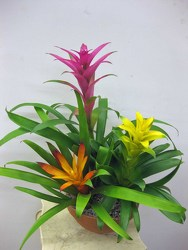 Bromiliad Trio from Visser's Florist and Greenhouses in Anaheim, CA