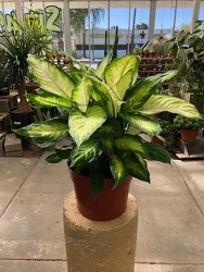 Dieffenbachia Camille from Visser's Florist and Greenhouses in Anaheim, CA