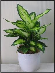Dieffenbachia from Visser's Florist and Greenhouses in Anaheim, CA