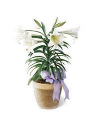 Easter Lily Plant from Visser's Florist and Greenhouses in Anaheim, CA