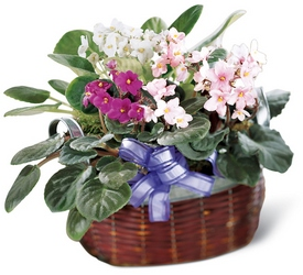 African Violets from Visser's Florist and Greenhouses in Anaheim, CA