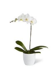 White Orchid Planter from Visser's Florist and Greenhouses in Anaheim, CA