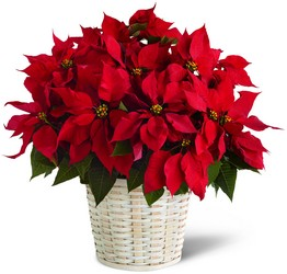 Visser's Red Poinsettia Basket  from Visser's Florist and Greenhouses in Anaheim, CA