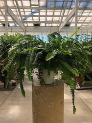 Kimberly Queen Fern from Visser's Florist and Greenhouses in Anaheim, CA