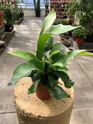 Staghorn Fern from Visser's Florist and Greenhouses in Anaheim, CA