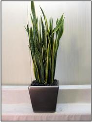 Sansevieria Laurentii from Visser's Florist and Greenhouses in Anaheim, CA