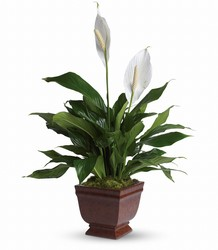 Lovely One Spathiphyllum Plant from Visser's Florist and Greenhouses in Anaheim, CA