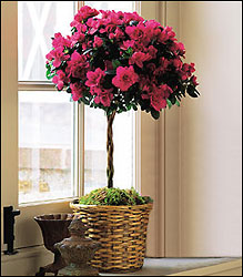 Azalea Topiary from Visser's Florist and Greenhouses in Anaheim, CA