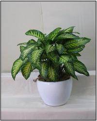 Dieffenbachia Tropic Snow from Visser's Florist and Greenhouses in Anaheim, CA